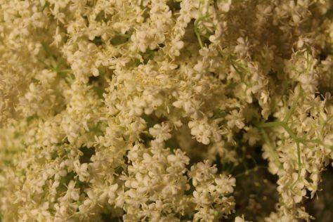 fiori sambuco
